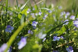 Paarse bloemen in gras (free images)